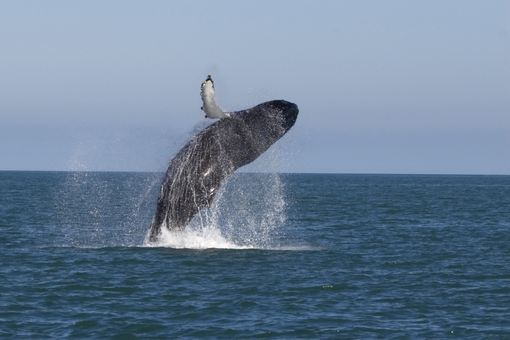 Whale breaching off Iceland